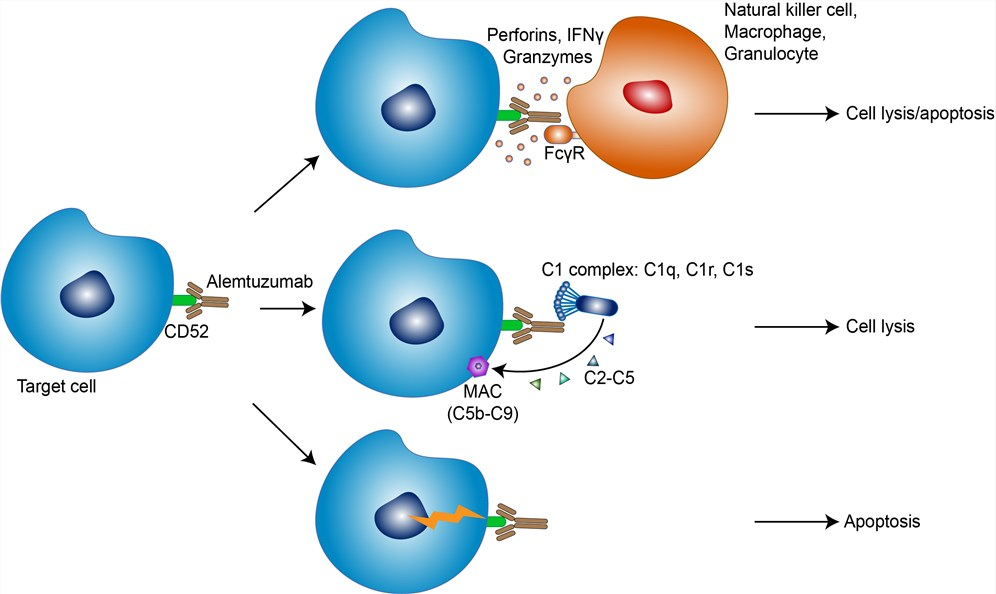 Mechanism of Action of Alemtuzumab