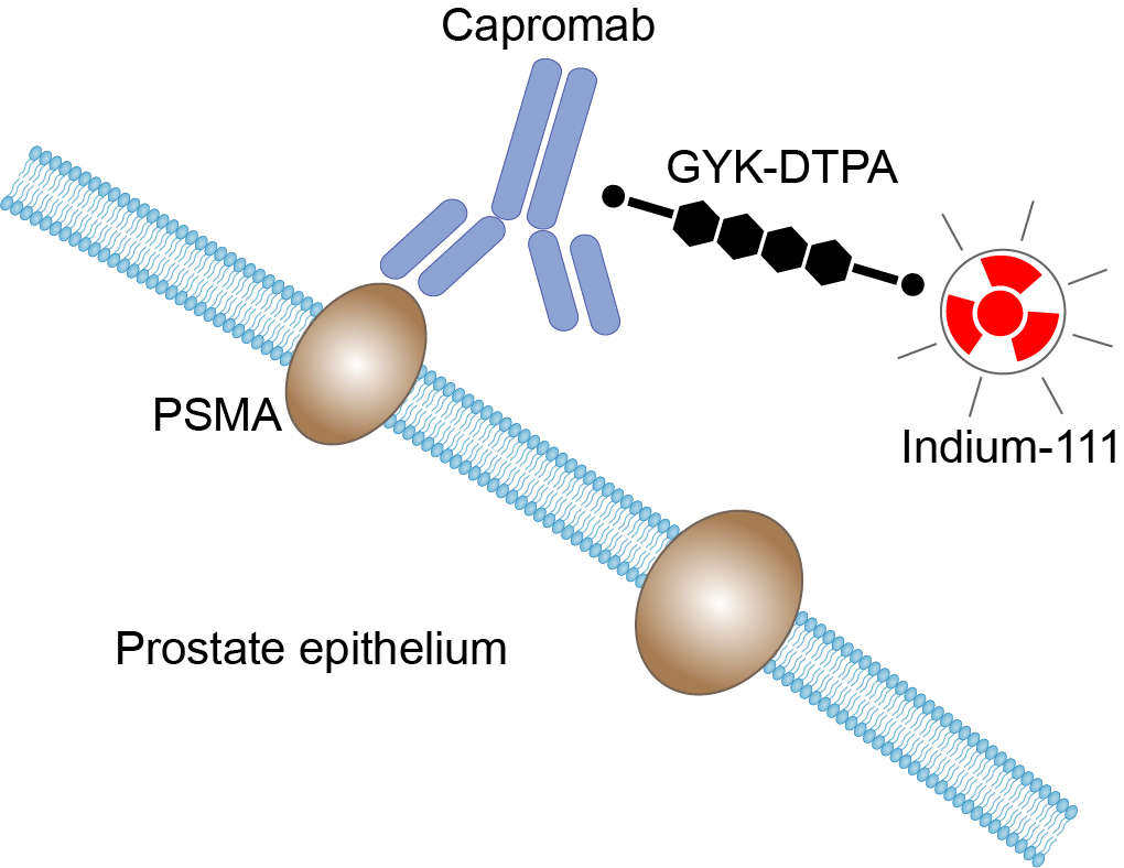 Mechanism of Action of Capromab Pendetide