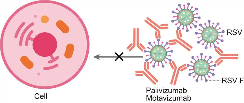 Mechanism of action of palivizumab
