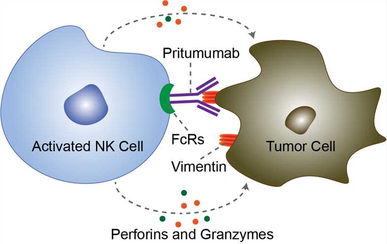 Mechanism of Action of Pritumumab