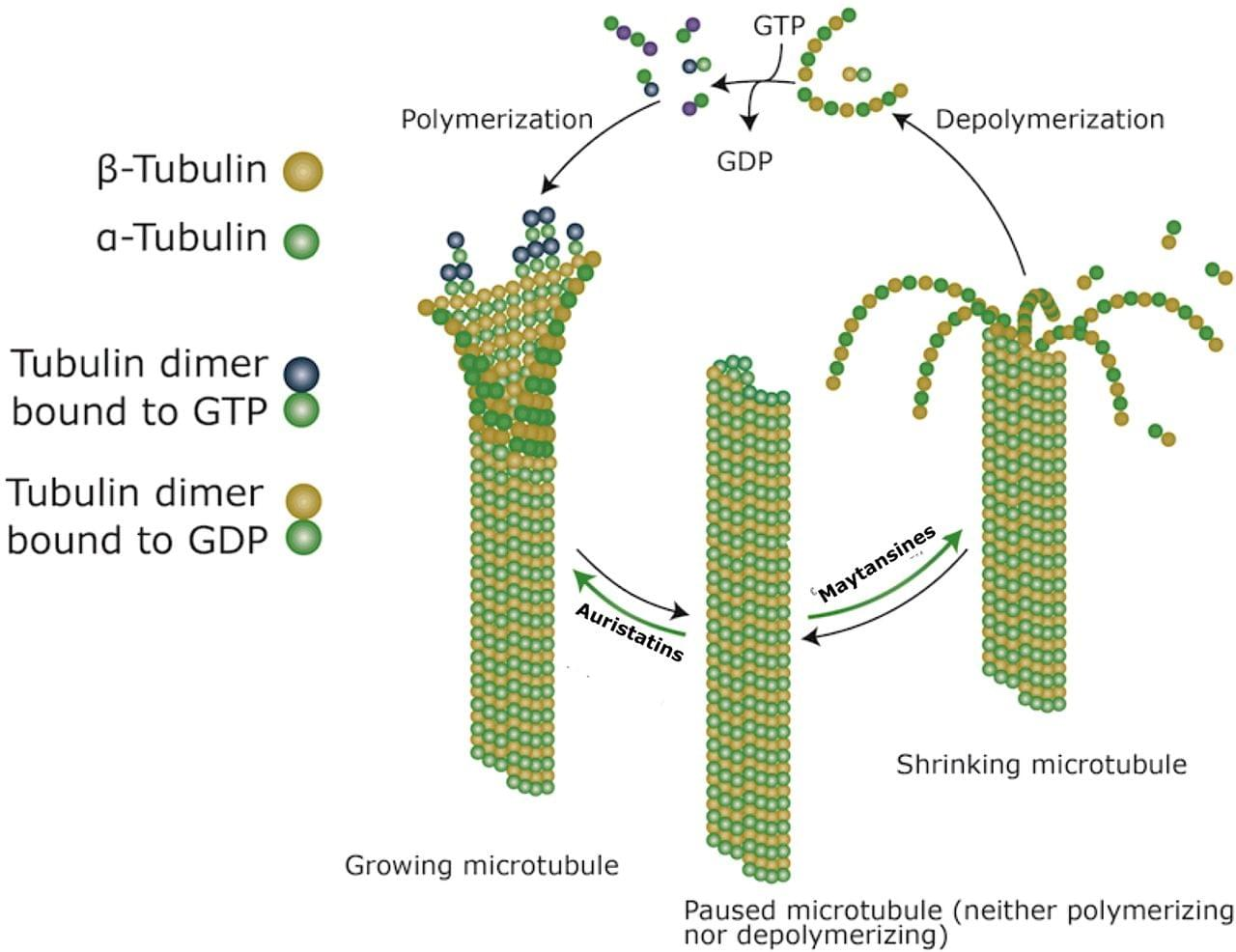 Toxins targeting tubulin filaments